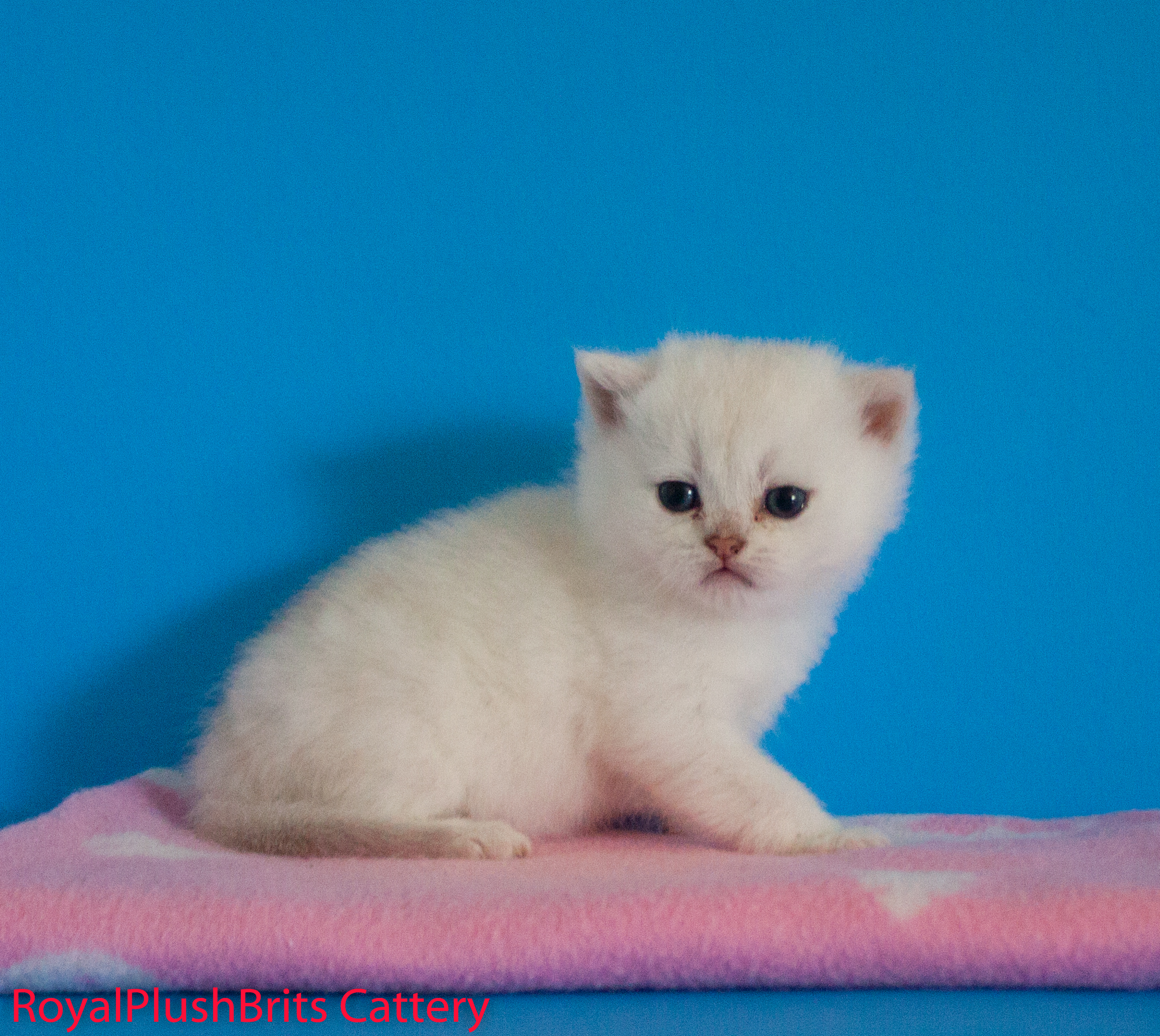 Jovi, Seal Shaded Boy. 4 Weeks Old. RESERVED