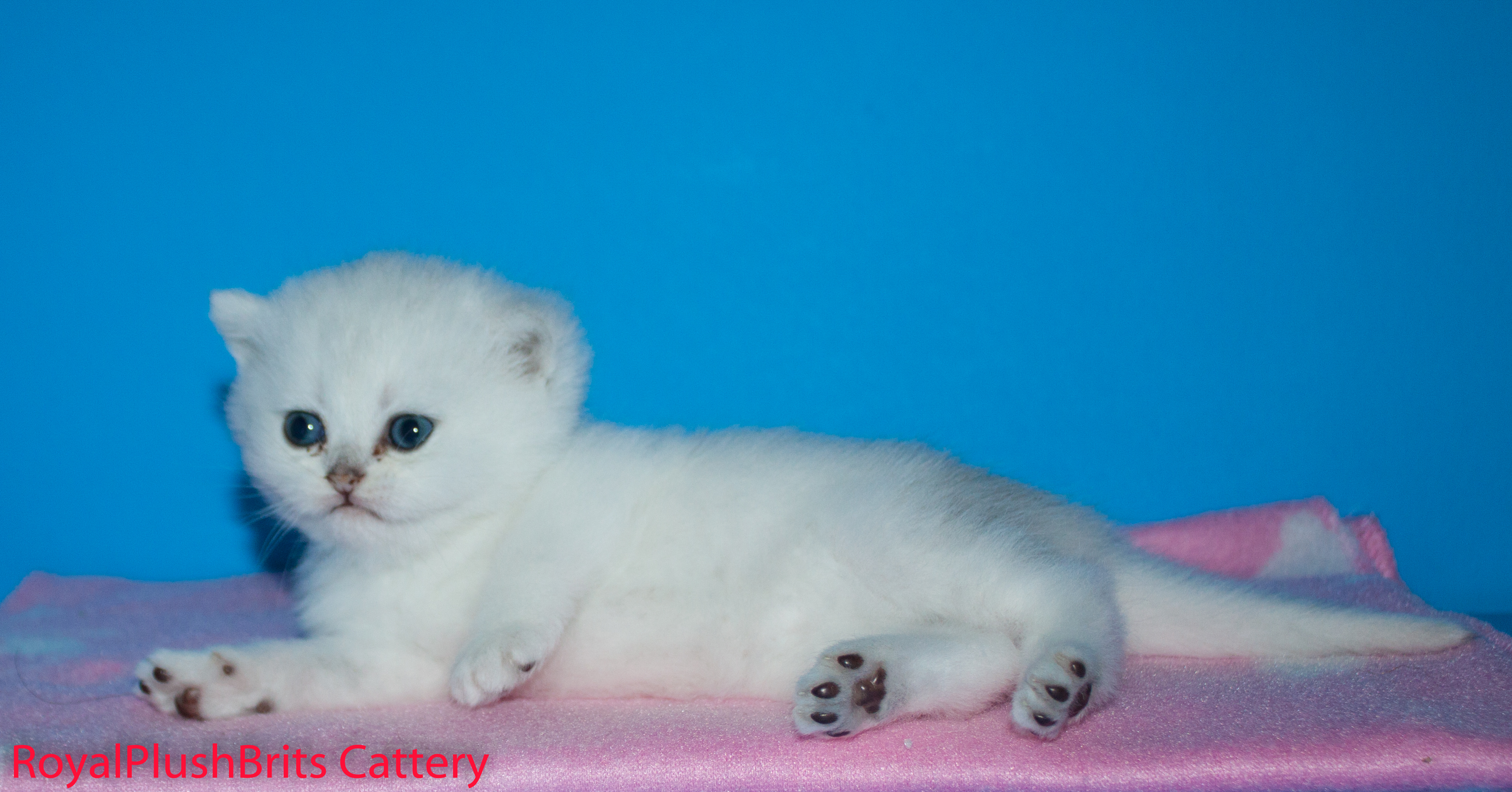 Ivetta, Silver Shaded Female. 4 Weeks Old. AVAILABLE
