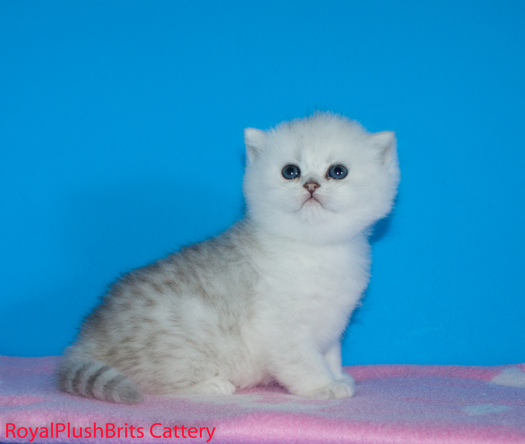 Irakli, Silver Tabby Male. 4 Weeks Old. RESERVED