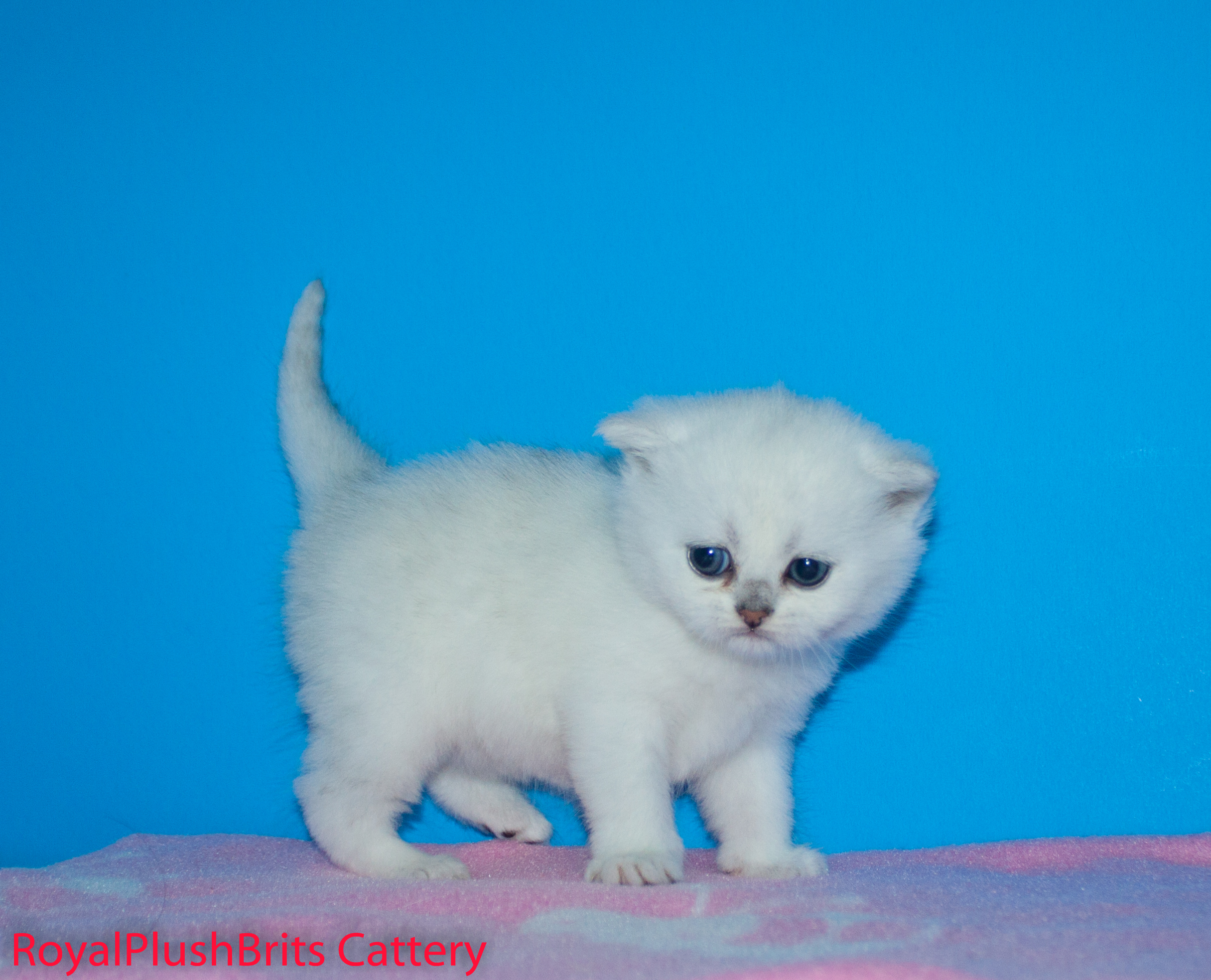 Jasmine, SIlver Shaded Girl. 4 Weeks Old. AVAILABLE