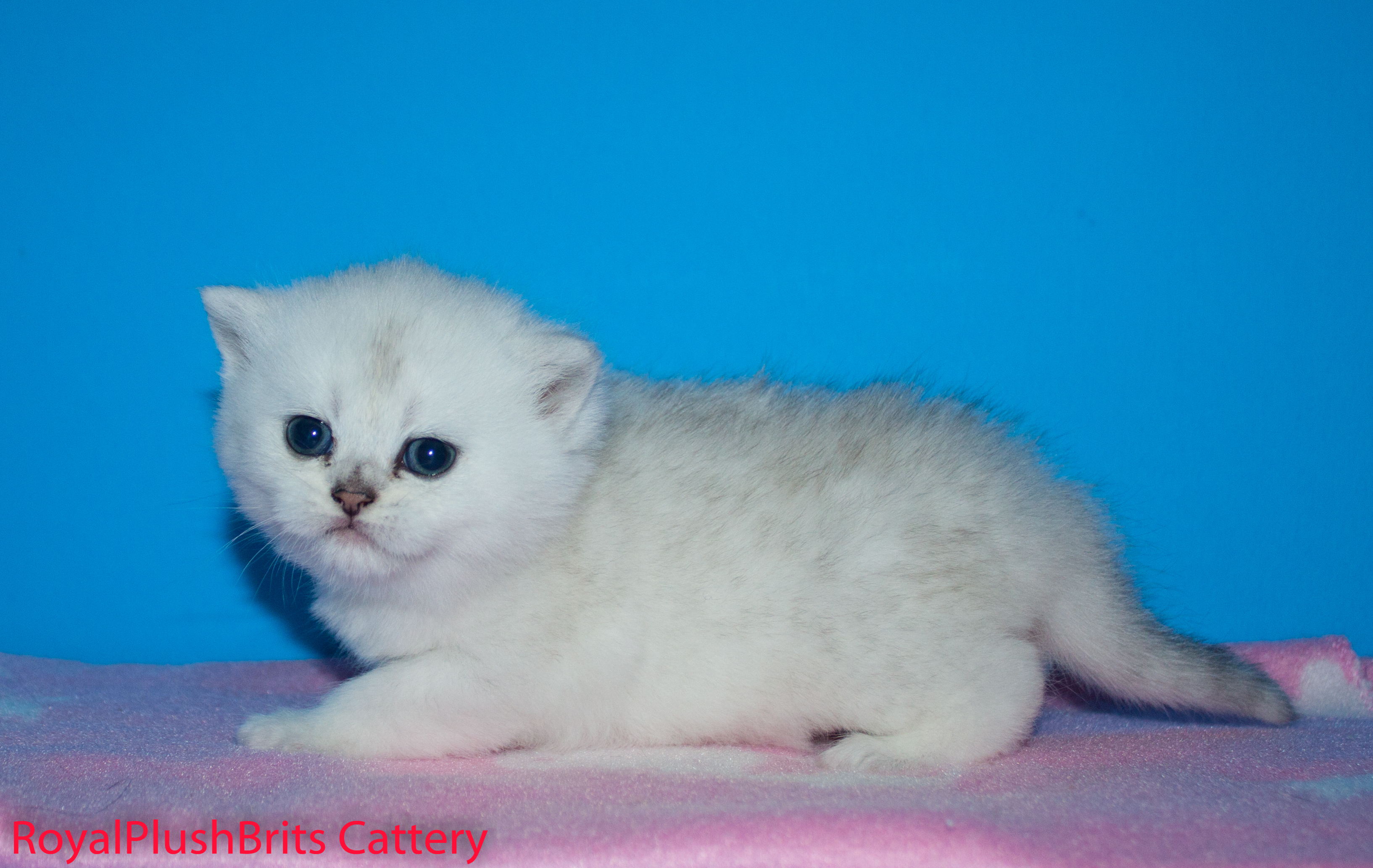 Josephine, SIlver Tabby Girl. 4 Weeks Old. AVAILABLE